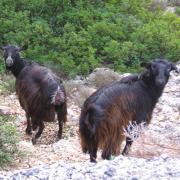 Критские козлы. Говорят - по деревьям лазать умеют